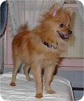 Pomeranian Mix Puppy for adoption in Downey, California - Rudy
