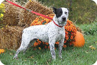Australian Cattle Dog/Blue Heeler Mix Dog for adoption in Marietta, Ohio - Wrangler (Neutered)