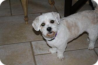 Lhasa Apso/Cocker Spaniel Mix Dog for adoption in Mesa, Arizona - Maddie