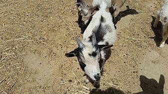 Goat for adoption in Palmdale, California - Magic
