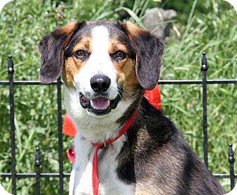 Hound (Unknown Type)/Beagle Mix Dog for adoption in Marietta, Ohio - Viper (Neutered)