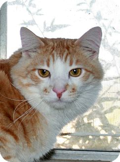 Domestic Longhair Cat for adoption in Phelan, California - Tommy