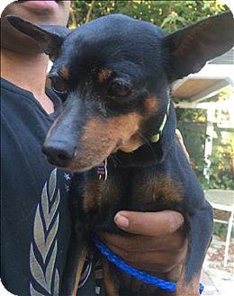 Miniature Pinscher Mix Dog for adoption in Encino, California - Dinah