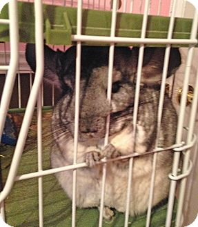 Chinchilla for adoption in Granby, Connecticut - Lilah May