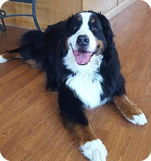 Bernese Mountain Dog Dog for adoption in Mount Gilead, Ohio - Jake