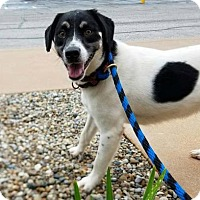 Jack Russell Terrier/Terrier (Unknown Type, Medium) Mix Dog for adoption in Terre Haute, Indiana - TARA