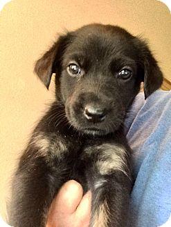 Labrador Retriever/Australian Cattle Dog Mix Puppy for adoption in Cave Creek, Arizona - Rex