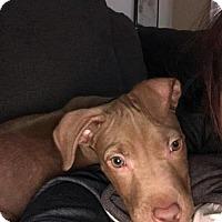 Adopt A Pet :: Tawny - Wyoming, MI