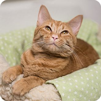 Domestic Shorthair Cat for adoption in Houston, Texas - Goldie