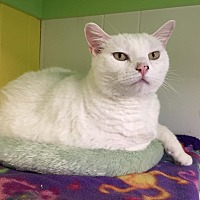 Domestic Shorthair Cat for adoption in Topeka, Kansas - Snowball