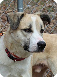 Labrador Retriever/Collie Mix Dog for adoption in Hagerstown, Maryland - Luka