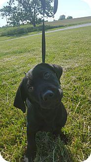 Beagle Mix Puppy for adoption in Hawk Point, Missouri - Raider