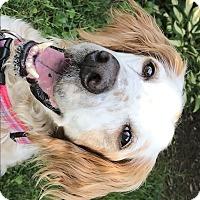 Adopt A Pet :: DAPHNE - Pine Grove, PA