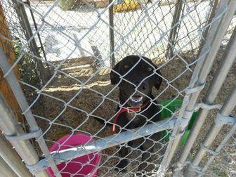 Labrador Retriever Mix Dog for adoption in Opelousas, Louisiana - kali