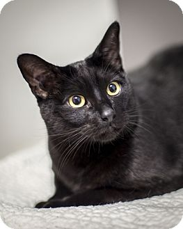 Domestic Shorthair Cat for adoption in St Helena, California - Bobby