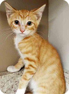 Domestic Shorthair Kitten for adoption in Plainfield, Illinois - Bob