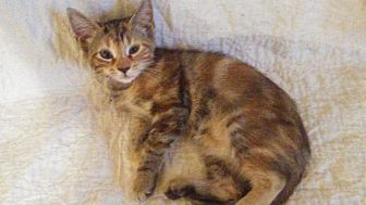 Domestic Shorthair Kitten for adoption in West Palm Beach, Florida - Cassiopeia