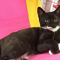 Adopt A Pet :: Kitten - Mako - Napa, CA