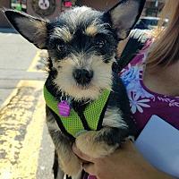 """Adopt A Pet :: """"Ginny"""" - Seattle, WA"""