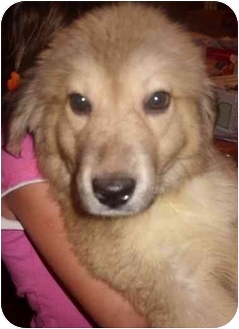 Great Pyrenees Mix Puppy for adoption in Elwood, Illinois - Drake