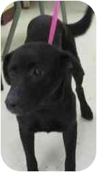 Labrador Retriever Dog for adoption in Winsted, Connecticut - Molly
