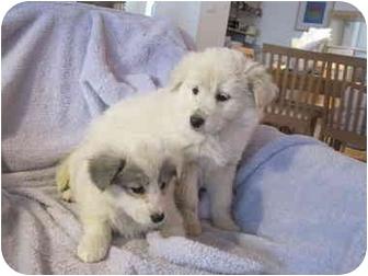 Shepherd (Unknown Type) Mix Puppy for adoption in Houston, Texas - Princess and Precious