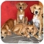 Photo 1 - Bloodhound/Vizsla Mix Puppy for adoption in Latrobe, Pennsylvania - 1 Bloodhound Mix Girl
