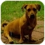 Photo 4 - Basset Hound/Boxer Mix Dog for adoption in Cranston, Rhode Island - CLIFFORD