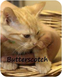 Domestic Shorthair Kitten for adoption in Divide, Colorado - Butterscotch
