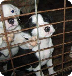 American Bulldog Mix Puppy for adoption in Largo, Florida - Guster