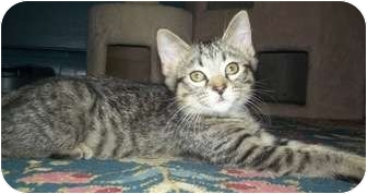 Domestic Shorthair Kitten for adoption in St. Louis, Missouri - Jack