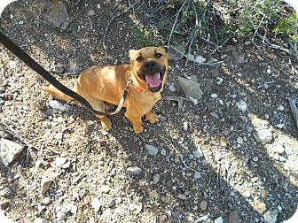Shepherd (Unknown Type)/Catahoula Leopard Dog Mix Puppy for adoption in Howard, Colorado - Isis