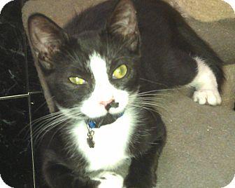 American Shorthair Kitten for adoption in Medford, New York - Blackspot