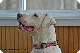 Labrador Retriever Mix Dog for adoption in kennebunkport, Maine - Lady - PENDING, in Maine!