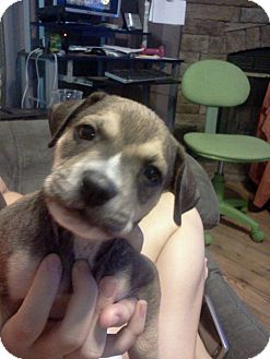 Boxer Mix Puppy for adoption in Walker, Louisiana - Luke
