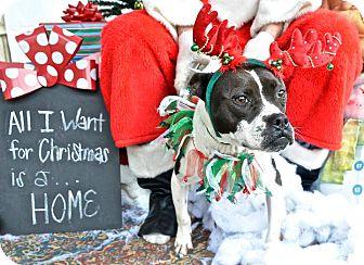 Boston Terrier Mix Dog for adoption in Darlington, South Carolina - Jingles