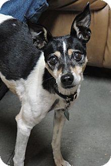 Rat Terrier Mix Dog for adoption in Meridian, Idaho - Kassie