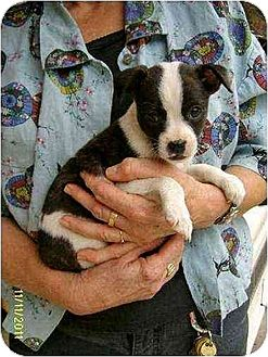Boston Terrier/Feist Mix Puppy for adoption in Williston Park, New York - Thea