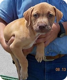 Bulldog Mix Puppy for adoption in Tampa, Florida - Harley