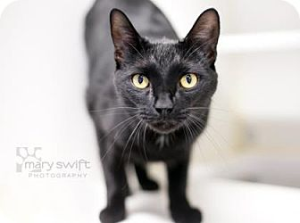 Domestic Shorthair Cat for adoption in Reisterstown, Maryland - Osgood