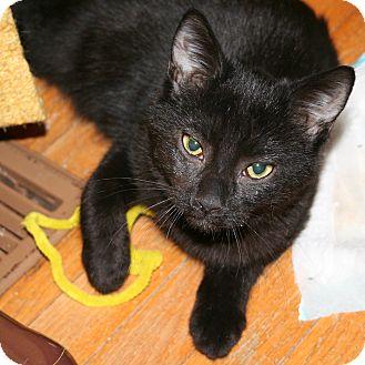 Domestic Shorthair Kitten for adoption in Toronto, Ontario - Blaze