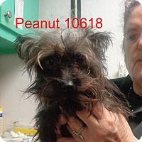 Adopt A Pet :: Peanut - Greencastle, NC
