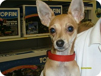 Chihuahua Dog for adoption in Green Cove Springs, Florida - Bruiser