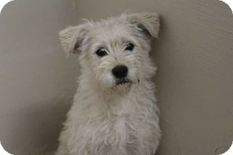 Terrier (Unknown Type, Small) Mix Dog for adoption in Middlebury, Connecticut - Leo