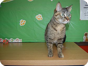 Domestic Shorthair Cat for adoption in North Judson, Indiana - Murphy