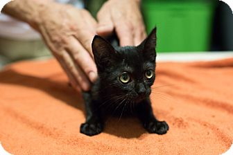 American Shorthair Kitten for adoption in Brooklyn, New York - Gretzky