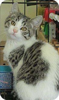 Domestic Mediumhair Cat for adoption in Buhl, Idaho - Ronnie