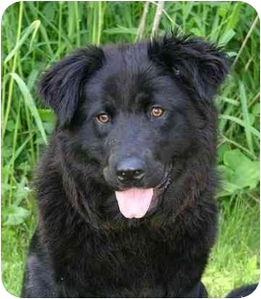 Chow Chow/Labrador Retriever Mix Puppy for adoption in Ladysmith, Wisconsin - Raven