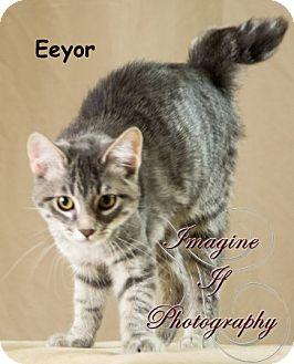 Domestic Shorthair Cat for adoption in Oklahoma City, Oklahoma - Eeyor