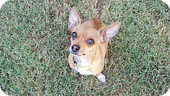 Chihuahua Mix Dog for adoption in Beacon, New York - Ernie (200 adoption fee)